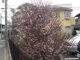 20120216-近所で梅が咲いた.JPG